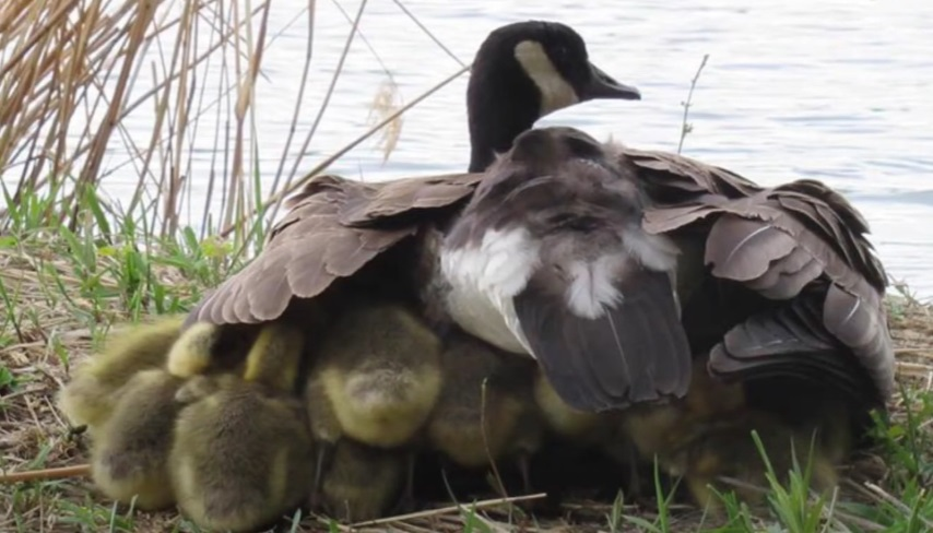 Mamma oca difende piccoli