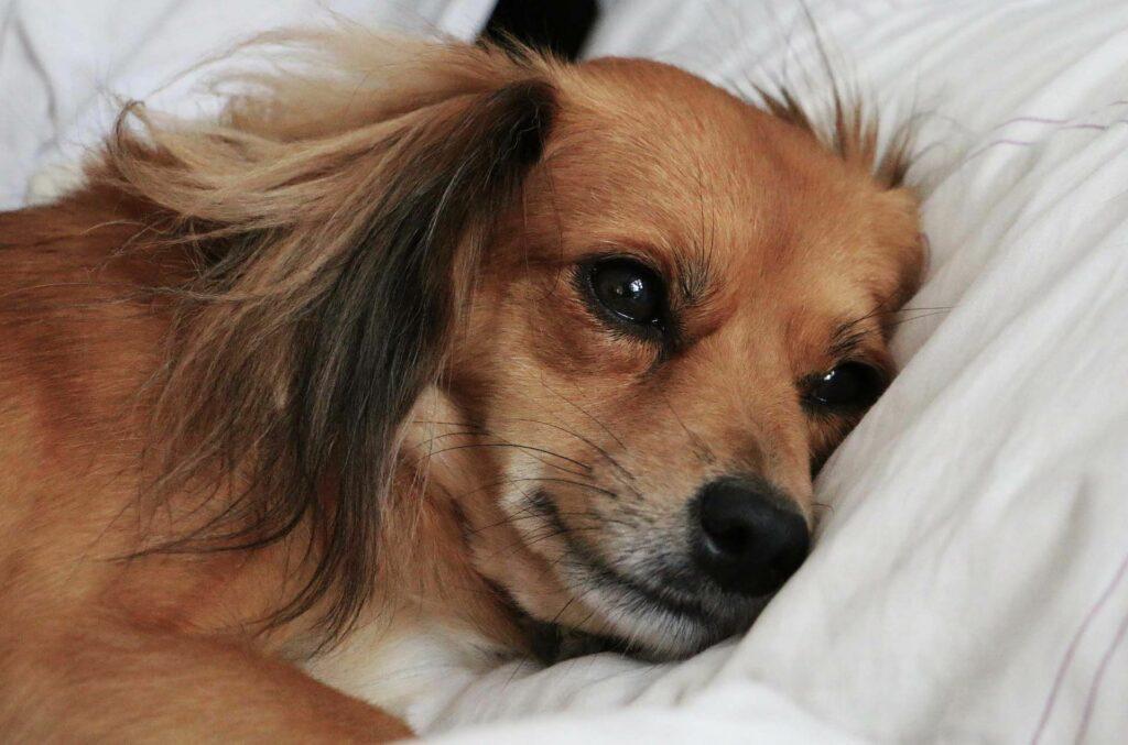 ecco i motivi per il quale il vostro cane vuole dormire nel vostro letto