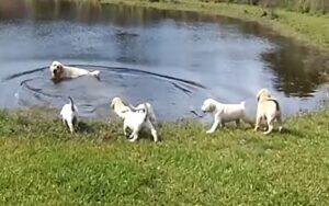 papà labrador porta i suoi cuccioli al lago per insegnarli a nuotare