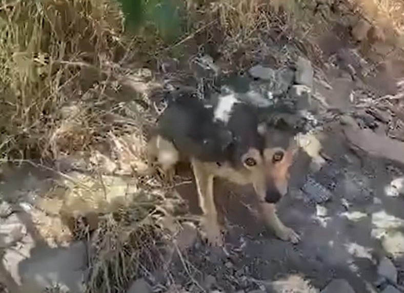 cane incatenato per tutta la vita, riesce a camminare solo in tondo