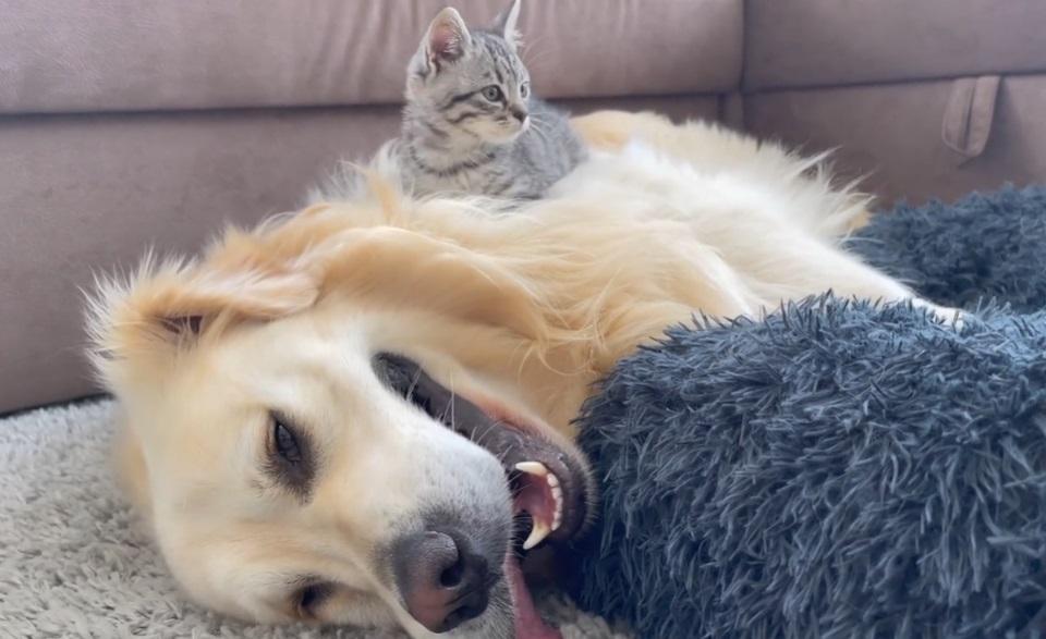un golden retriever lotta dolcemente con un gattino dopo che ha occupato la sua poltrona