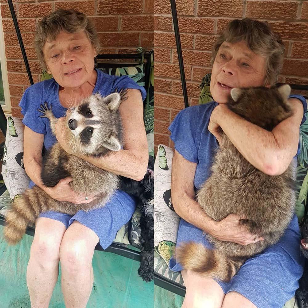 procione torna a far visita alla sua mamma umana periodicamente, dopo che l'ha nutrito e rimesso in libertà