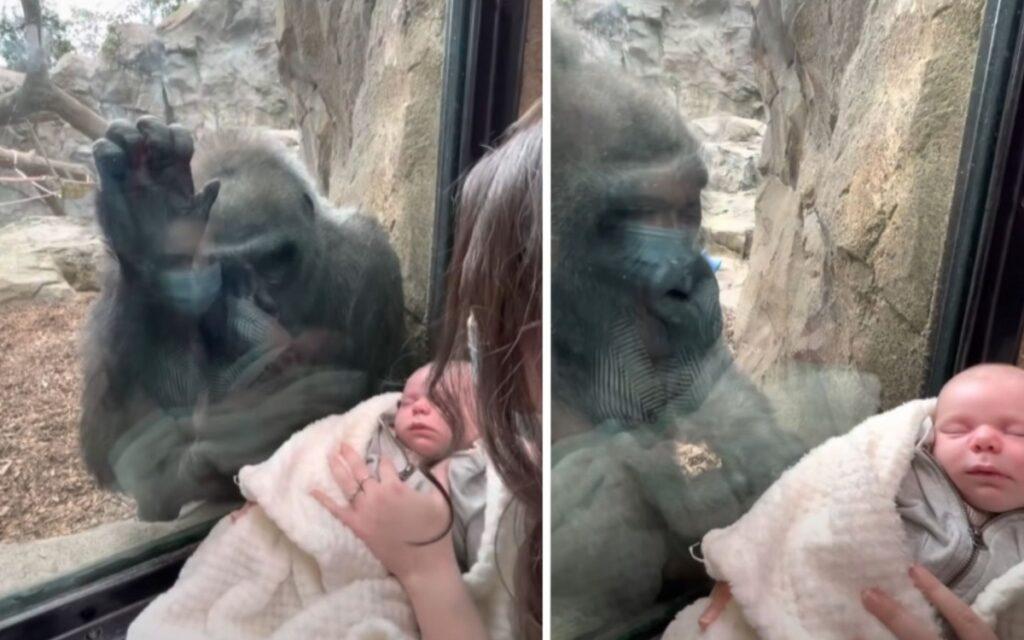 gorilla interagisce con la mamma e il suo bambino all'interno di uno zoo