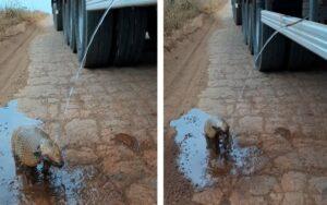 un conducente si accosta per salvare un piccolo armadillo disidratato