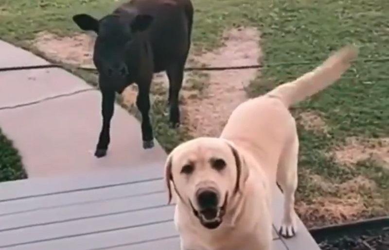un cane, uscito per fare una passeggiata, è tornato a casa con un vitellino sperando che la sua famiglia lo faccia entrare