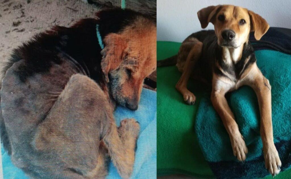 Clotilde, un cane salvato dalla fame e dalla scabbia