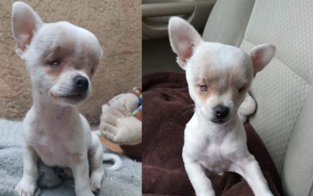 Preziosa, il cane nato con una disabilità destinato a essere soppresso: ora ha una nuova vita
