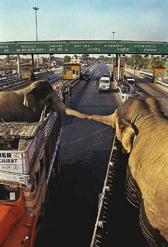 elefanti si salutano per  l'ultima volta  prima di essere separati per sempre
