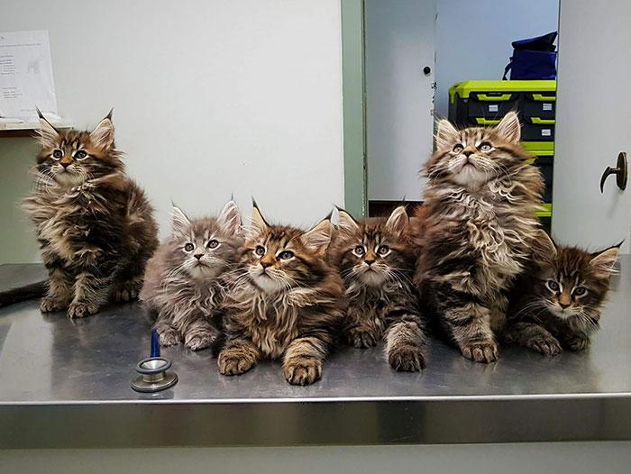 10 gatti Maine Coon che diventeranno enormi