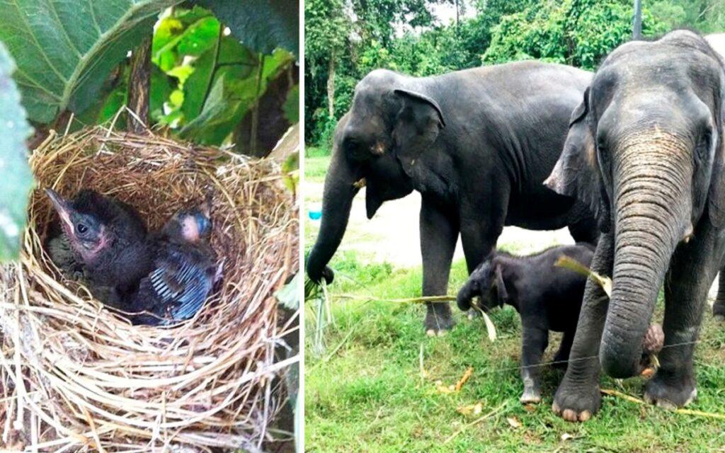 Elefanti in Tamil Nadu distruggono piantagioni di banani, tranne quello con un nido di uccelli sopra