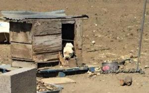 cane viene salvato da una donna dopo essere stato legato per due anni