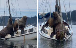leoni marini salgono su una barca