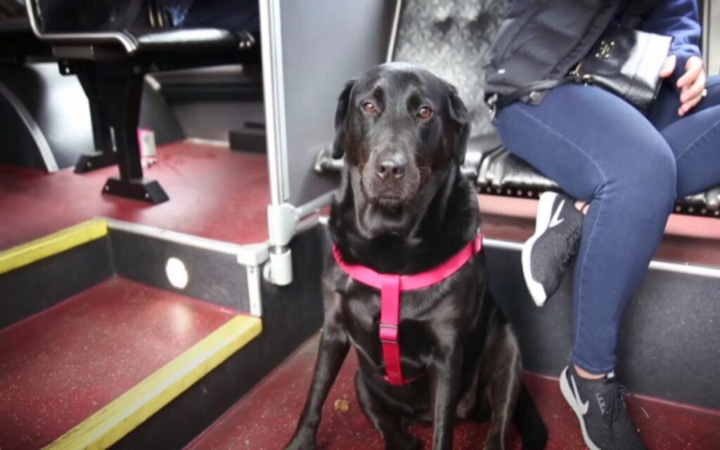 cane impara a prendere da solo l'autobus