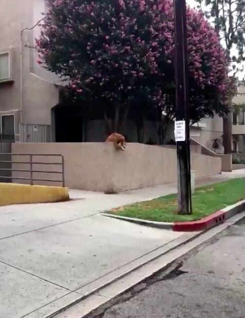 cane getta la pallina fuori per giocare con i passanti