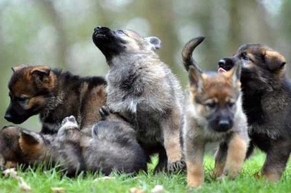 cane cinofilo nei primi giorni di addestramento