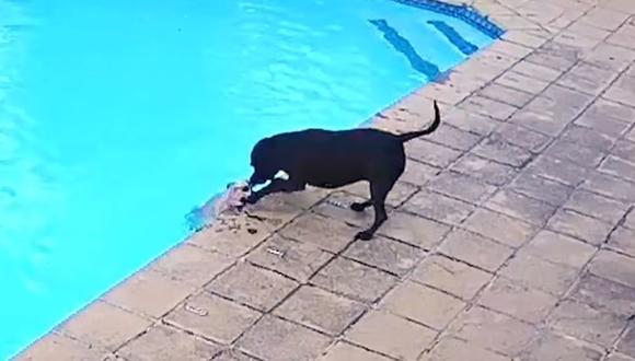 cane salva un altro cane mentre stava annegando in piscina