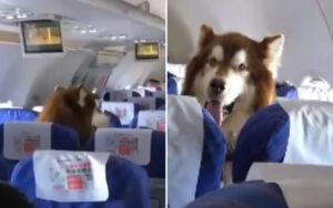 Un Alaskan Malamute su un volo, per accompagnare il suo padrone disabile