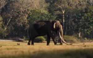 elefante fa il giro del web grazie alle sue lunghe zanne