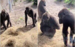 la simpatica reazione dei gorilla alla vista di un serpente