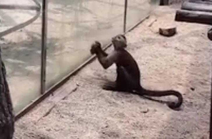 scimmia cerca di scappare rompendo il vetro in uno zoo