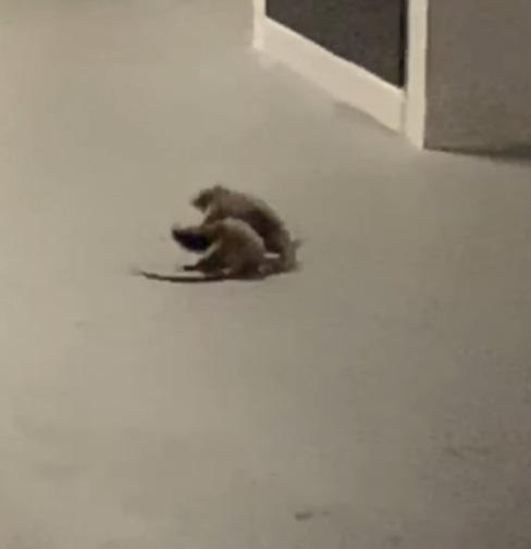 topi vengono ripresi mentre litigano tra di loro