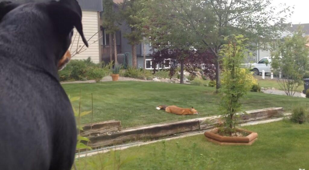 volpe si diverte con il gioco di un cane nel suo giardino
