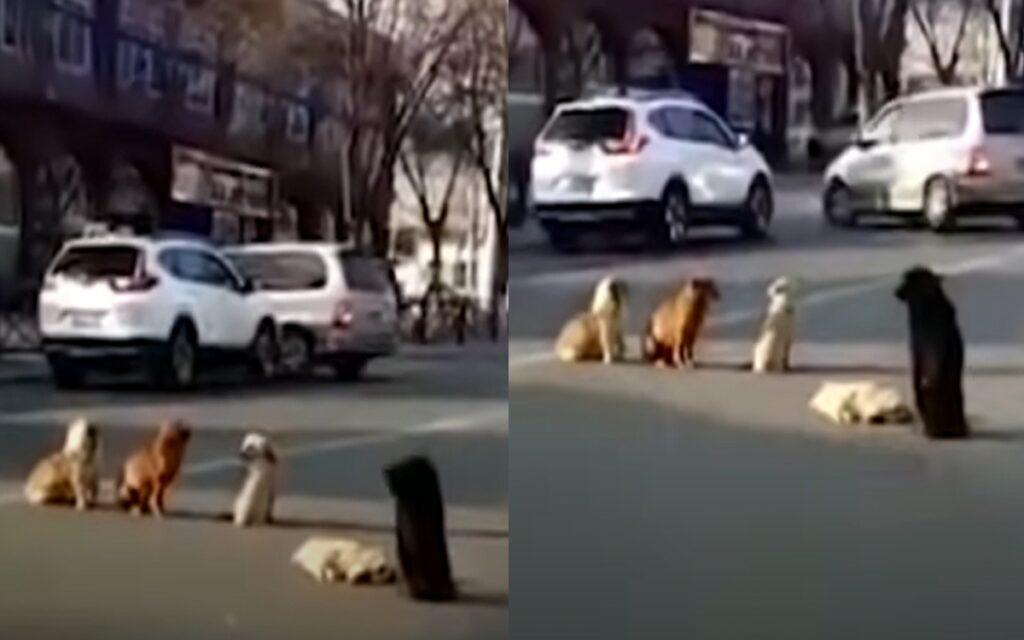 cani bloccano la strada per aiutare il loro amico ferito