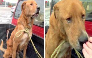 Labrador Retriever di 8 anni viene abbandonato e viene trovato per le strade triste in cerca di cibo