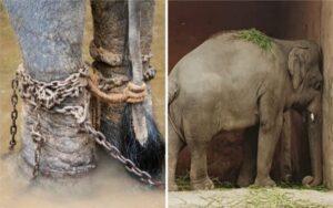 elefante vive solo e in cattive condizioni di salute da 35 anni