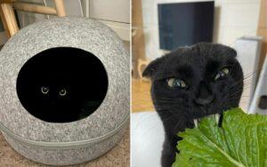 gatto nero diventa popolare per la sua simpatia e aspetto buffo