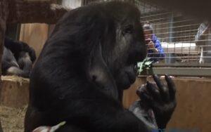 mamma gorilla ripresa mentre bacia suo figlio in uno zoo