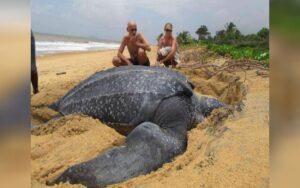 tartaruga Liuto ripresa mentre torna in mare