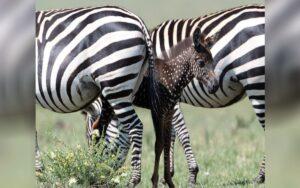 zebra nasce con il manto marrone a pois