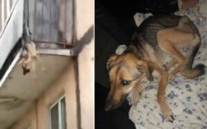 cagnolino tenta di scappare dal proprio balcone e rimane incastrato