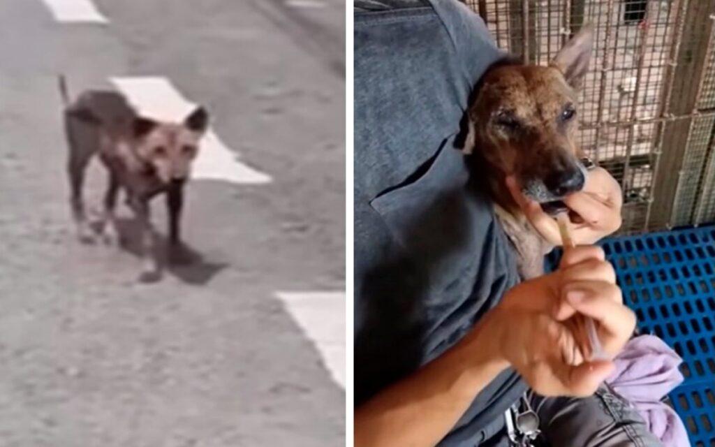 cagnolina incinta trovata per strada dopo che è stata picchiata