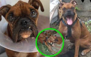 Boxer viene abbandonato e portato in fin di vita da proprietari poco responsabili