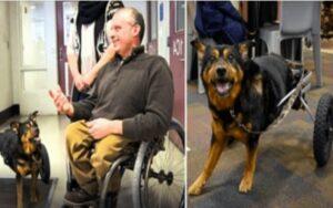 cane disabile viene adottato da un proprietario paralizzato come lui