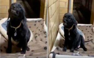 cane in un rifugio sorride alle persone per essere adottato