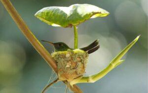 mamma colibrì costruisce un nido con il tetto per i propri cuccioli