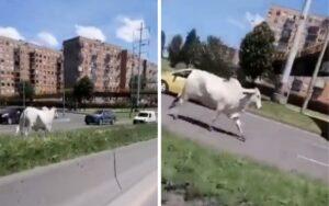 mucca scappa dal camion che era diretto al macello