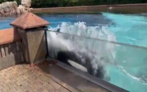 orca prende a testate il vetro della vasca in cui è rinchiusa