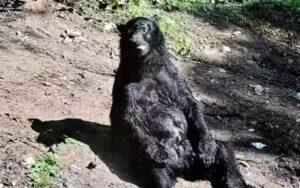 orso va in pensione dopo 25 anni di attività in un circo