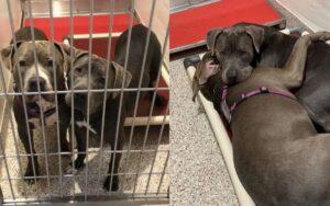 pitbull diventano grandi amici nel rifugio e vengono adottati insieme